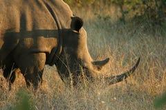 Noshörning i savannahen på solnedgången Fotografering för Bildbyråer