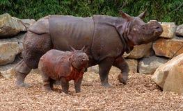Noshörning med barn i zoo Arkivbild