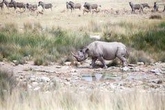 Noshörning med två beten i den Etosha nationalparken, Namibia slut upp, safari i sydliga Afrika i den torra säsongen royaltyfri foto