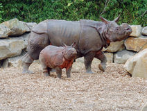 Noshörning med ungt nyfött gå Royaltyfria Bilder