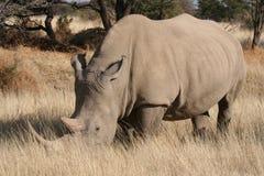 Noshörning Namibia Arkivbild