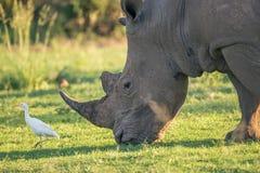 Noshörning och ägretthäger Royaltyfri Bild