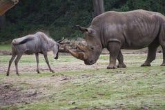 Noshörning- och hjortstridighet Arkivbild
