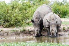 Noshörning- och kalvdricksvatten på ett bevattna hål i parkerar fotografering för bildbyråer