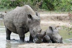 Noshörning- och kalvknäet i det bevattna hålet i parkerar djupt royaltyfri foto