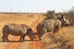 Noshörning på grusvägen Arkivfoton