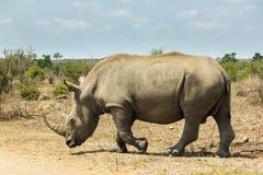 Noshörning på hans väg royaltyfri fotografi
