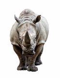 Noshörning på vit bakgrund Fotografering för Bildbyråer