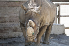 Noshörning på zoo Fotografering för Bildbyråer