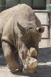 Noshörning på zoo Arkivfoton