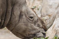 Noshörning på zoo Arkivfoto