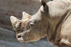 Noshörning på zoo Royaltyfria Bilder