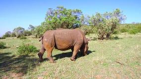 Noshörning som betar i savann på africa lager videofilmer