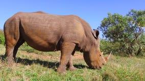 Noshörning som betar i savann på africa arkivfilmer