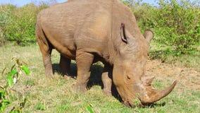 Noshörning som betar i savann på africa stock video