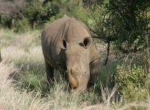 Noshörning som betar i Sydafrika royaltyfria foton