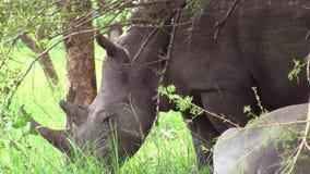 Noshörning som betar på en grön äng stock video