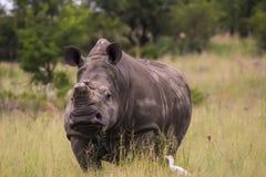 Noshörning som går över vägen royaltyfri fotografi