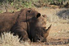 Noshörning som kopplar av efter gyttjebad Fotografering för Bildbyråer