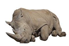 Noshörning som ligger ner isolerat Arkivfoto