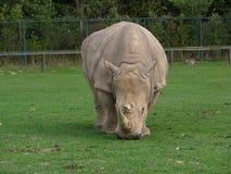 Noshörning som ser genomsnittlig Arkivbild