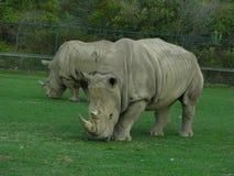 Noshörning som 2 ser genomsnittlig Fotografering för Bildbyråer