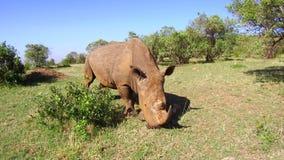 Noshörning som stirrar i savann på africa lager videofilmer