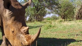 Noshörning som stirrar i savann på africa arkivfilmer