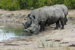 Noshörning som tillsammans står fotografering för bildbyråer