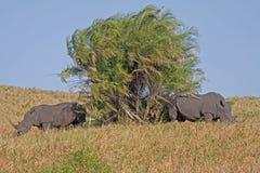 noshörning två Arkivbilder