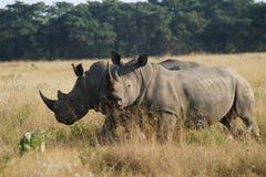 noshörning två Fotografering för Bildbyråer