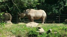 Noshörning ut för lunch Arkivfoton