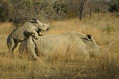 Noshörningambition Fotografering för Bildbyråer