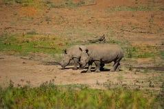 Noshörningar Arkivbild