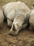 3 noshörningar Arkivfoto