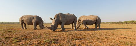 Noshörningar i Afrika Royaltyfri Foto