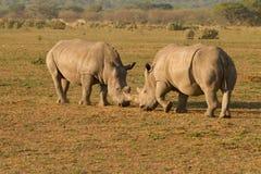 Noshörningar i Afrika Royaltyfria Bilder