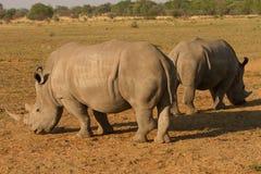 Noshörningar i Afrika Fotografering för Bildbyråer