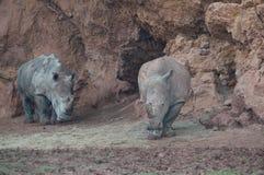 Noshörningar i det naturligt parkerar av nordliga Spanien arkivbilder