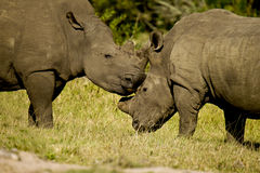 Noshörningar som gnider huvud Arkivbild