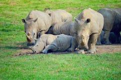 Noshörningen behandla som ett barn Arkivbilder