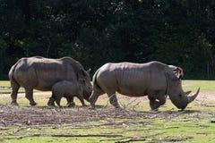 Noshörningen behandla som ett barn Royaltyfri Foto