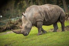 Noshörningen går på äng går royaltyfri fotografi
