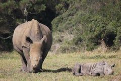 Noshörningen och behandla som ett barn noshörning på Kragga modiga Kramma parkerar Arkivbilder
