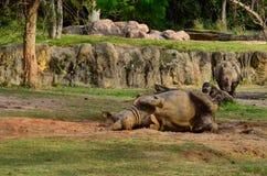 Noshörningen tar gyttjebadet Arkivbilder