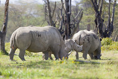 Noshörningfamilj i Kenya Arkivfoto