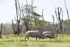 Noshörningfamilj i Kenya Fotografering för Bildbyråer
