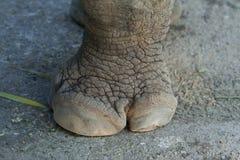 noshörningfot Arkivfoto