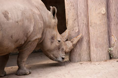 Noshörninghuvudclose upp Arkivbilder