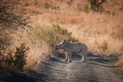 Noshörningkalv Fotografering för Bildbyråer
